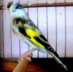 <3 Le Chardonneret le plus beau oiseau  <3  ماشاء الله  https://www.youtube.com/+bilelseg https://www.facebook.com/ChardonneretBilelKios/ https://www.instagram.com/bilelkios/ #الحسون #المقنين #القرديل #Chardonnerert #Canari #Mulet #MuletOiseau #Oiseau #Birds #Animaux #Goldfinch #Jilguero #Cardellino #καρδερίνα #Sakakuşu #Chien #Chat #Pigeon #Cheval #Science #Reptile #Poisson #Plantes #Hibiscus #Alger #Algérie #Tunisie #Maroc #ChardonneretGolden #BilelKios