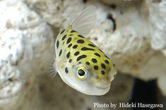 Tetraodon nigroviridis:ミドリフグ。小さい淡水フグだけどどちらかと言うと海水。カワイイけど一緒に泳ぐ魚を噛む。活き餌しか食いが悪い。飼育しにくい。昔飼っていた時弟がカニカマあげたら美味しかったらしく、食い過ぎハラが腫れて死んだ。