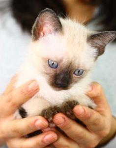 Siamese Cat Names - Different type of cats Breeds Catsincare.com