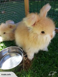 Oh. My. Goodness.                   English Angora Baby Bunnies | Trade Me