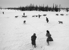 The Nenets are the true cowboys of Siberia. Every morning, having rounded up reindeer that wandered off during the night in search of forage, they use a lasso to catch those reindeer needed to pull the sledges. They never leave their camp before noon, but will then travel for seven or eight hours.