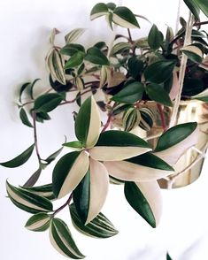 @lindasleaves on Instagram: Tradescantia tricolor