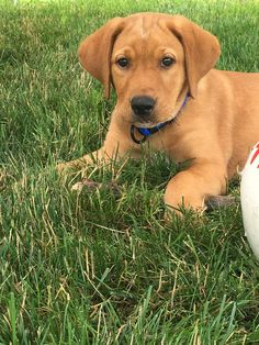 """Figure out more relevant information on """"labrador puppies"""". Take a look at our web site. Fox Red Labrador Puppy, Red Lab Puppies, Labrador Puppies For Sale, Dogs And Puppies, Doggies, Cute Dogs Breeds, Large Dog Breeds, Dogs Golden Retriever, Retriever Puppies"""