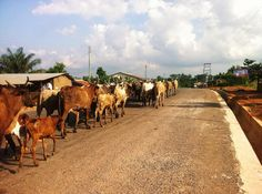 The traffic here is unbelievable #ttot #travels #VSCOtravel #VSCOcam #farming #cows #travelblogger #villagelife #instagood #igers