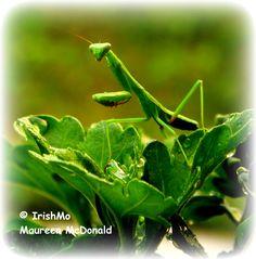 Macro of Praying Mantis  By Maureen McDonald