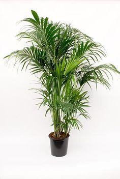 Palme Kentia Howea (Forestiana) kaufen? - 123zimmerpflanzen