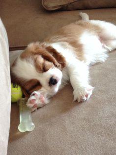 Puppy Love - Cavalier King Charles Spaniel Puppy #puppytrainingcratetips #Cutepuppies