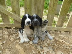 "Excellent ""English cocker spaniel"" info is offered on our web pages. Perro Cocker Spaniel, English Cocker Spaniel Puppies, English Springer Spaniel, Springer Puppies, Cute Puppies, Cute Dogs, Dogs And Puppies, Spaniel Breeds, Dog Breeds"