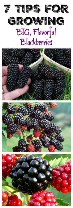 Organic Gardening tips for growing blackberries - Looking to grow blackberries? Here are 7 tips for growing blackberries right in your garden or even in a pot or container! Fruit Garden, Edible Garden, Vegetable Garden, Garden Plants, Veggie Gardens, Growing Veggies, Growing Plants, Organic Gardening, Gardening Tips
