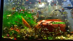 The best way to feed 1 million guppy fish in your aquarium