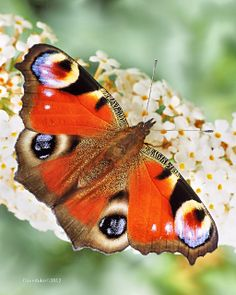 Peacock Butterfly | Flickr - Photo Sharing!  David Dukesell