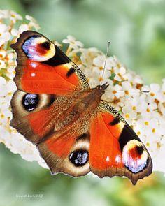 Peacock Butterfly | Flickr - Photo Sharing!  David Dukesell