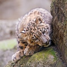 A Sneaky Clouded Snow Leopard Cub.