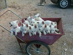 Omg! White GSD puppies..