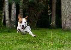 jack russell run green grass