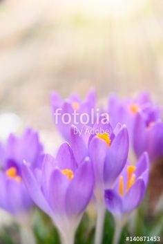 140 best spring flowers wallpapers backgrounds and more spring beautiful purple spring crocuses in the sun flower background mightylinksfo