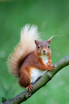 True Blonde - A portrait of a blonde tailed red squirrel by Will Nicholls