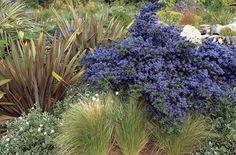 Dark Star California Lilac - Attractive, dense-branching evergreen shrub boasts heavy clusters of honey-scented, dark purplish blue flowers. Dark green foliage has deeply impressed veins. Terrific hedge, screen or windbreak.