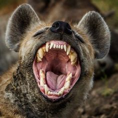 Daar sta je dan als hyena, met je bek vol (indrukwekkende) tanden. Scary Animals, Animals And Pets, Cute Animals, Tattoo Minimaliste, Unusual Tattoo, Unusual Art, Wild Dogs, Mundo Animal, Tier Fotos