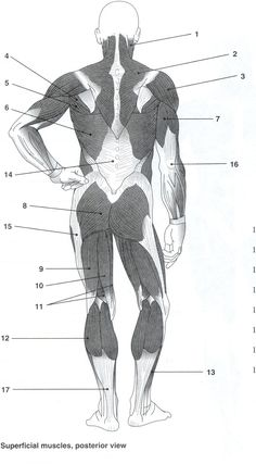 blank muscle diagram to label full skeleton muscles worksheet body pinterest anatomy and posterior unlabeled study practice musculoskeletal system muscular