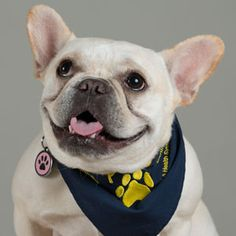 "Meet Coogee - UCLA PAC Volunteer. Coogee won the title of ""Most Beautiful French Bulldog in 2011"""
