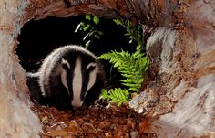 Badger © Laurie Campbell