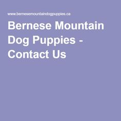Bernese Mountain Dog Puppies - Contact Us