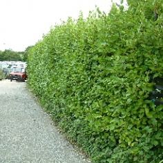 Photographic Print: Hedges Along a Road in South Cornwall Poster by Sam Abell : Hedges Landscaping, Garden Hedges, Hedging Plants, Shrubs, Evergreen Hedge, Landscape Materials, Native Plants, Yellow Flowers, Cornwall