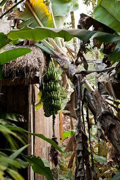 Bananenstaude | Madagaskar