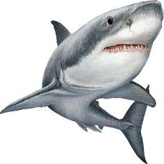 shark clipart | Can a Shark save your life?
