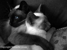 Siamese Cat Fine Art Photograph - I Will Look After You