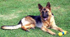Lovely German Shepherd!