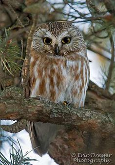Adirondack Owls. Check out our guide to Adirondack wildlife, including owls! Find out where you can spot cute creatures like this in the mountains of Upstate NY!