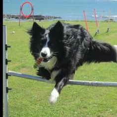 Asha Kells...The Border Collie with Many Skills!