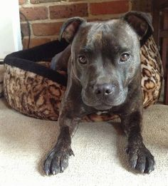 Staffordshire Bull Terrier Dog Breed Information and Pictures