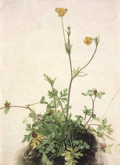 Albrecht Durer (1471 - 1528) Buttercups, Red Clover, and Plantain. 1526 watercolor and gouache on vellum. 29.7 х 21.8 cm. (11 11/16x89/16in.)