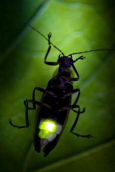 Photo about Firefly - Lightning Bug Flashing at Night. This is the actual flash of the Firefly. Image of glowing, lightning, fireflies - 21359428 Species Of Sharks, Interesting Animals, Lightning, The Darkest, Bugs, Royalty Free Stock Photos, Old Things, Glow, Spirituality
