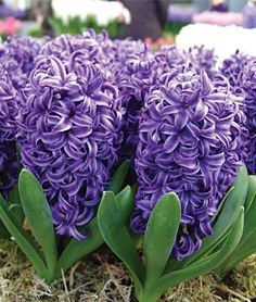 Hyacinth my favourite smell in the whole wide world... Besides the smell of babies and my husbands cologne