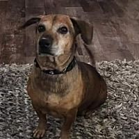 Great Bend Ks Dachshund Meet Duke A Pet For Adoption In 2020
