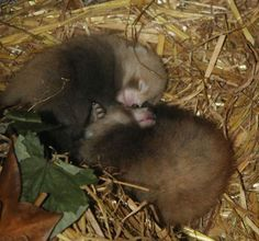 Paradise Park staff waiting to hear if Red Pandas snore. Check out the zoo's webcam for great live red panda action!