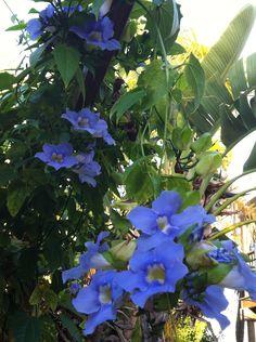 1000 Images About Trepadeira Tumb 233 Rgia Azul On