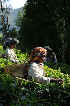 Discover Hunuwella Estate, a Ceylon Tea Garden owned by Dilmah. Situated in the lowest elevations of Sri Lanka known for its burgundy brown hue and strong flavour Tea Brands, Plantation Homes, Working People, Sri Lanka, Great Places, Fields, Scenery, Around The Worlds, Travel