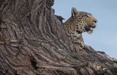 Earth Ark Safaris - Leopard (Savute, Botswana) Copyright Steven Stockhall