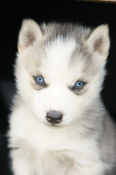 Husky's are beautiful