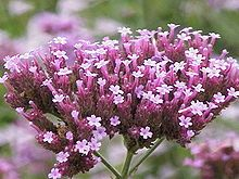 Verbena Verbena has longstanding use in herbalism and folk medicine, usually as an herbal tea. Nicholas Culpeper's 1652 The English Physitian discusses folk uses. Among other effects, it may act as a galactagogue (promotes lactation) and possibly sex steroid analogue. The plants are also sometimes used as abortifacient. Verbena has been listed as one of the 38 plants used to prepare Bach flower remedies,[8] a kind of alternative medicine promoted for its effect on health.