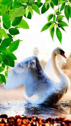 Белый лебедь - Картинки животных - Анимационные блестящие картинки GIF