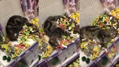 Lost Tabby Cat Found Swimming in Ocean of Catnip Toys at Store - Love Meow Kinds Of Cats, Lots Of Cats, Pet Supply Stores, Catnip Toys, I Love Cats, Pet Supplies, Cute Animals, Lost, Swimming