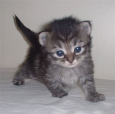 a kitten with fluffy fur, blue eyes and tiny paws *dies*
