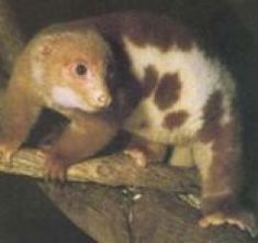 The Common Spotted Cuscus is a marsupial animal that lives in the Rain Forests of tropical Queensland. Since it is a marsupial it carries it's young in a pouch. Unusual Animals, Rare Animals, Crocodile Species, Tropical Animals, Rainforest Animals, Australia Animals, Quokka, Animal Facts, Pet Birds