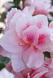 Autumn Chiffon™ | Encore® Azalea: The world's best-selling multi-season blooming azalea